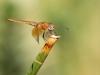 Trithemis kirbyi - male immature - IMG_8504