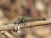 Paragomphus genei - female IMG_8555