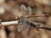 Paragomphus genei - female IMG_8621