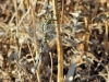 Orthetrum trinacria - female IMG_8701