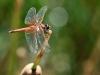 Trithemis kirbyi - female - IMG_8789