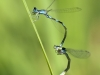 Coenagrion caerulescens - tandem IMG_8808