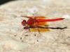 Trithemis kirbyi - male - IMG_8868