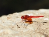 Trithemis kirbyi - male - IMG_8874