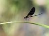 Calopteryx haemorrhoidalis - male IMG_8983