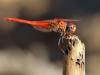 Trithemis kirbyi - male - IMG_9087