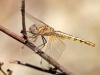 Trithemis kirbyi - female immature IMG_9285
