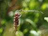 Platycnemis latipes - male immature IMG_9296