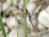 Orthetrum trinacria - female is eating a Crocothemis erythraea male IMG_9693