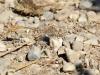 Onychogomphus costae - male IMG_9973