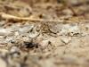 Onychogomphus costae - male IMG_9987