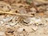 Onychogomphus costae - male IMG_9993