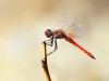 Sympetrum fonscolombii - male _IMG_0065