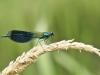 Calopteryx splendens - male_IMG_2112