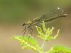 Calopteryx splendens - female_IMG_2137