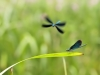 Calopteryx virgo - two males_IMG_2157
