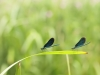 Calopteryx virgo - two males_IMG_2159