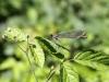 Calopteryx splendens - female_IMG_2287