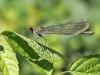 Calopteryx splendens - female_IMG_2288