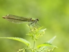Calopteryx splendens - female_1_IMG_2177