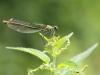Calopteryx splendens - female_3_IMG_2190