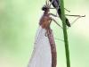 Calopteryx splendens - Metamorphose