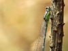 Coenagrion pulchellum - female _img_8088