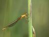 Ischnura pumilio - female immature - IMG_7689