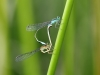 Ischnura elegans - copula_IMG