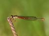 Ceriagrion tenellum - female_img_5981