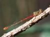 Ceriagrion tenellum - female_img_6011