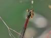 Ceriagrion tenellum - female_img_6028