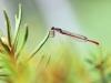 Ceriagrion tenellum - male -.IMG_7999