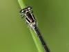 Coenagrion mercuriale female