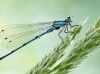 Coenagrion puella male with mites