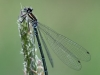 Coenagrion puella - female