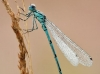 Coenagrion puella - male