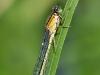 Ischnura elegans female - forma infuscans-obsoleta_img_1191