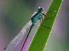 Ischnura elegans-m_-3