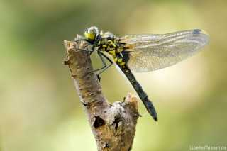 Leucorrhinia dubia, female immature