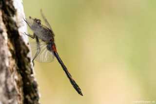 Leucorrhinia dubia, male mature - Libelle des Jahres 2014