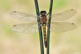 Leucorrhinia rubicunda female