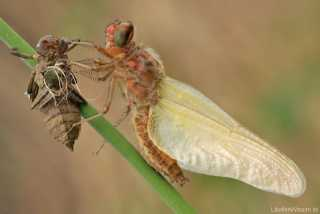 Libellula fulva - female - Metamorphose