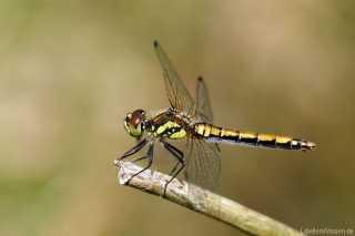 Sympetrum danae - weiblich