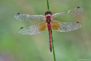 Sympetrum flaveolum - Männchen