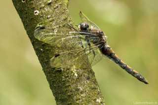 Leucorrhinia rubicunda - female - adult _img_8161