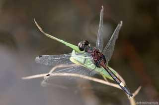 Leucorrhinia pectoralis - male 3
