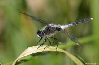 Leucorrhinia albifrons - adult male