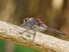 Leucorrhinia rubicunda - male IMG_2678