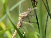 Orthetrum brunneum - female immature - IMG_7716